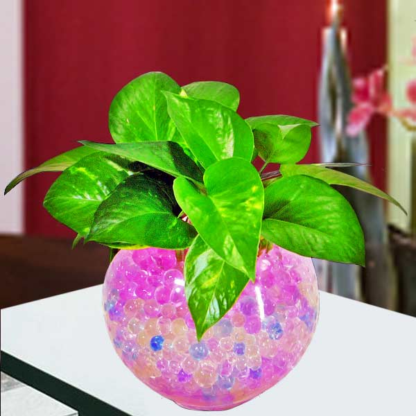 7 Inches height Money Plant with Crystal-Soil