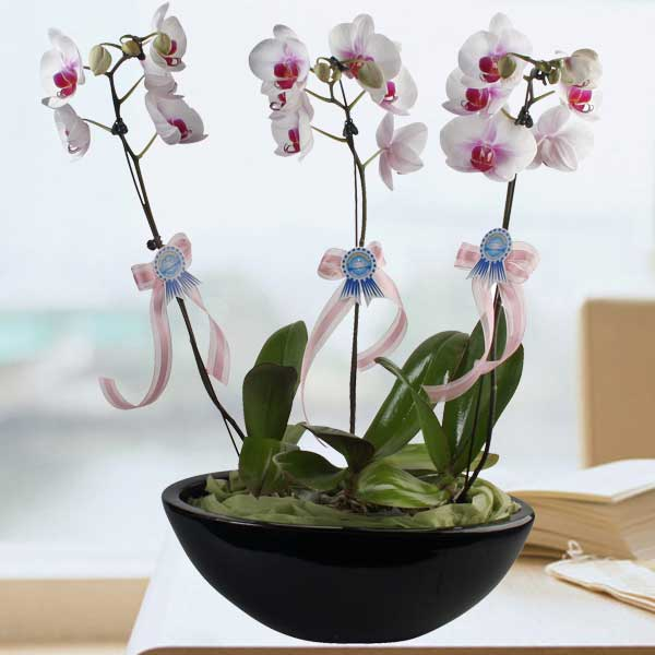 3 Phalaenopsis Orchids Plants In Vase