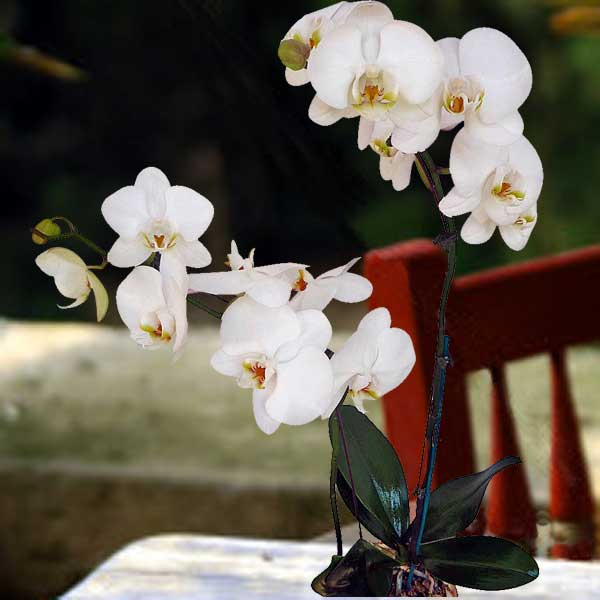 White Live Phalaenopsis Orchids ( Center Yellow ) Potted Plants