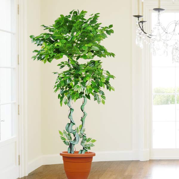 Artificial Ficus Plant 195cm Height