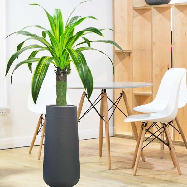 Artificial Dracaena Plant In Tall Planter Pot 160 cm Height