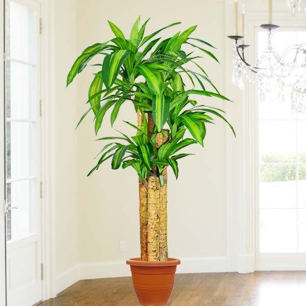 Artificial Dracaena Plants 5 Feet Height