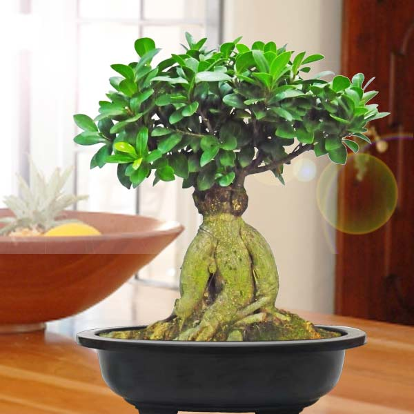 28cm height Pomegranate Bonsai Tree