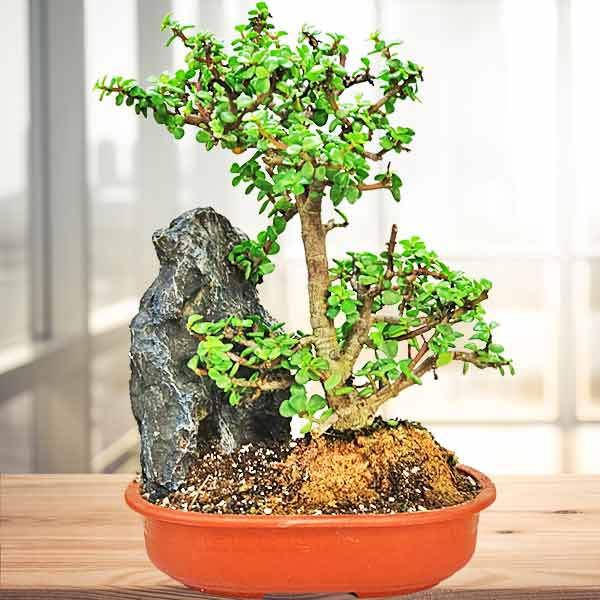Fukien Tea Bonsai 60cm Height
