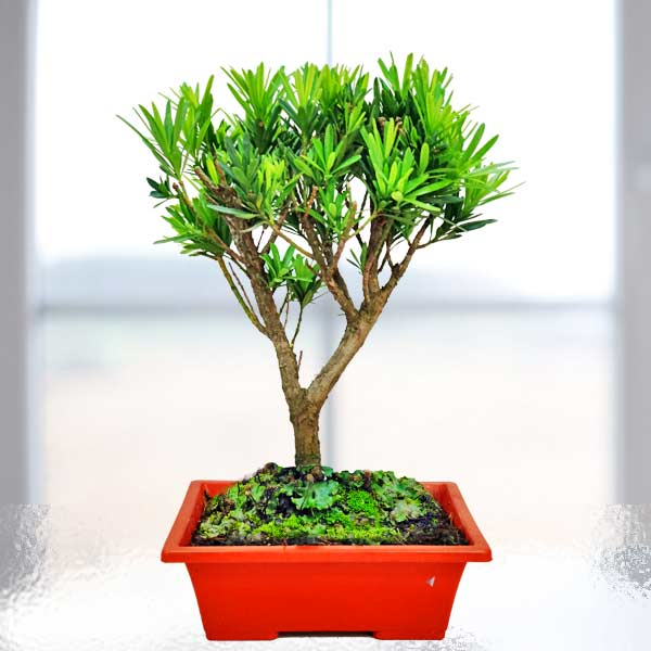 Buddhist Pine Bonsai Tree 30cm height In Plastic Pot