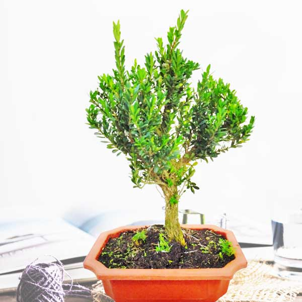 Pomegranate Bonsai Tree 28cm height