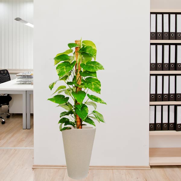 Money Plants For Office & Home