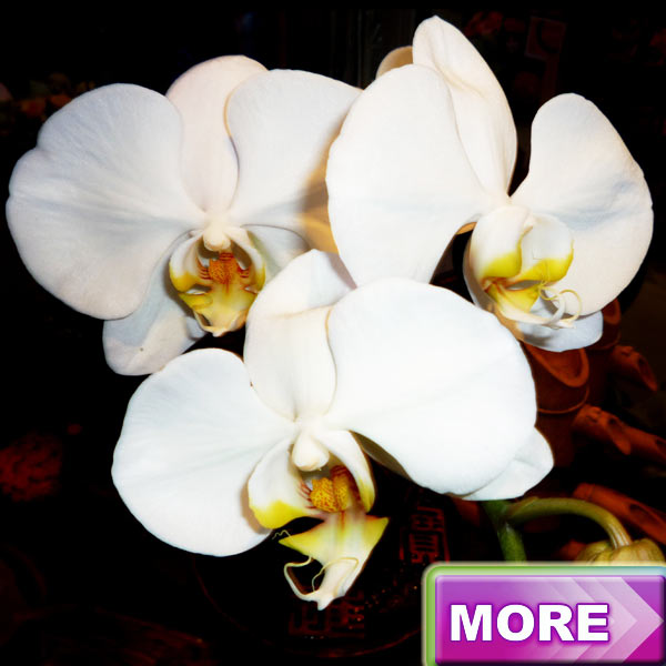 Live Phalaenopsis Orchids