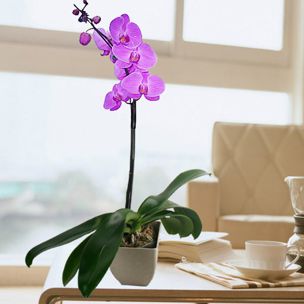 Live Phalaenopsis Purple Orchid In Recycle pot