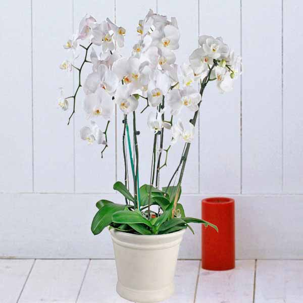 Live Phalaenopsis Orchids centre Yellow Potted Plant