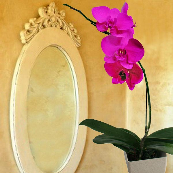 Spray Pink colour Phalaenopsis Orchid
