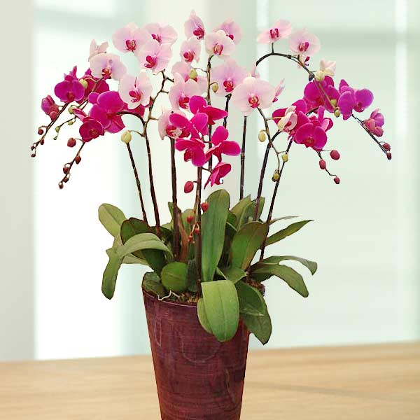 Live Phalaenopsis Orchids Mixed Color Potted Plant ( 10 Sprays )