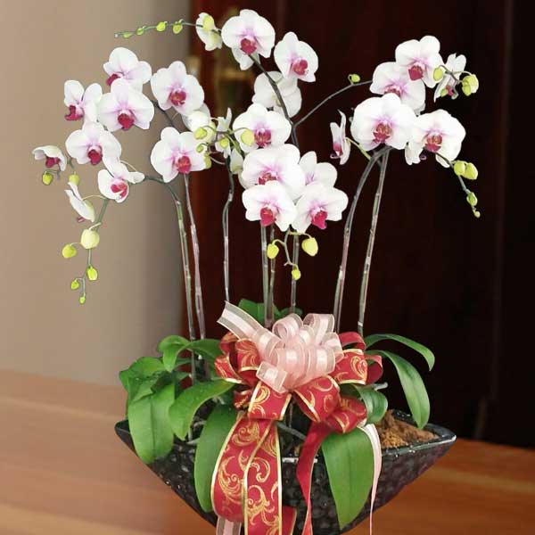 Live Phalaenopsis Orchids White (Center Purple) Color Potted Plant (8 Sprays