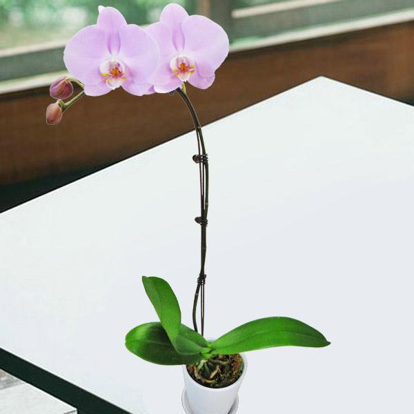 Live Mini phalaenopsis orchid