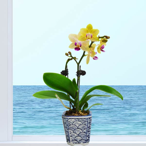 Live Mini Phalaenopsis Orchids About 23cm Height
